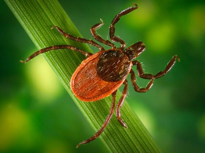 The blacklegged tick, I. pacificus, depicted here, is a known vector for the zoonotic spirochetal bacteria Borrelia burgdorferi, which is the pathogen responsible for causing Lyme disease. (Courtesy of the Centers for Disease Control and Prevention)