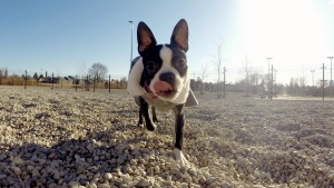 Nikita, a Boston terrier, is seen in this undated photograph.