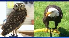 Alberta Birds of Prey Centre - West Nile