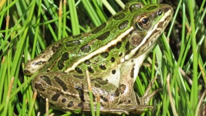 Endangered northern leopard frogs (shown), native to British Columbia, are at risk of being pushed out by voracious bullfrogs, an invasive species that experts say is one of many that puts native Canadian plants and animals at risk. THE CANADIAN PRESS/HO-Calgary Zoo MANDATORY CREDIT