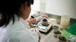 In this Nov. 1, 2012 file photo, an Israeli woman works at Tikkun Olam medical cannabis farm, near the northern Israeli city of Safed, Israel. Late Tuesday, Dec. 25, 2018, Israel's parliament unanimously approved a law to permit exports of medical marijuana, allowing Israel to tap the lucrative global market. (AP Photo/Dan Balilty, File)