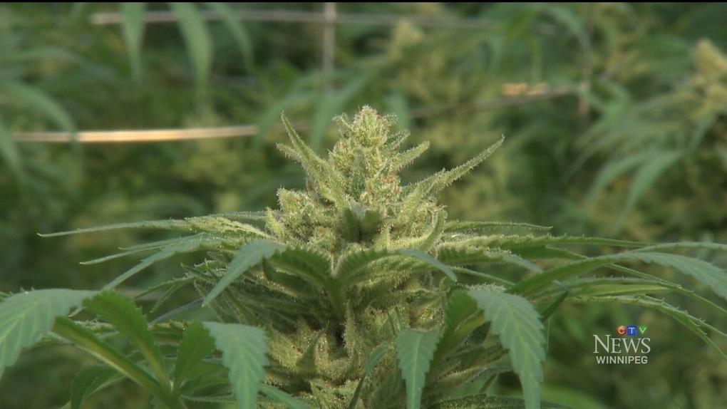 Cannabis recall