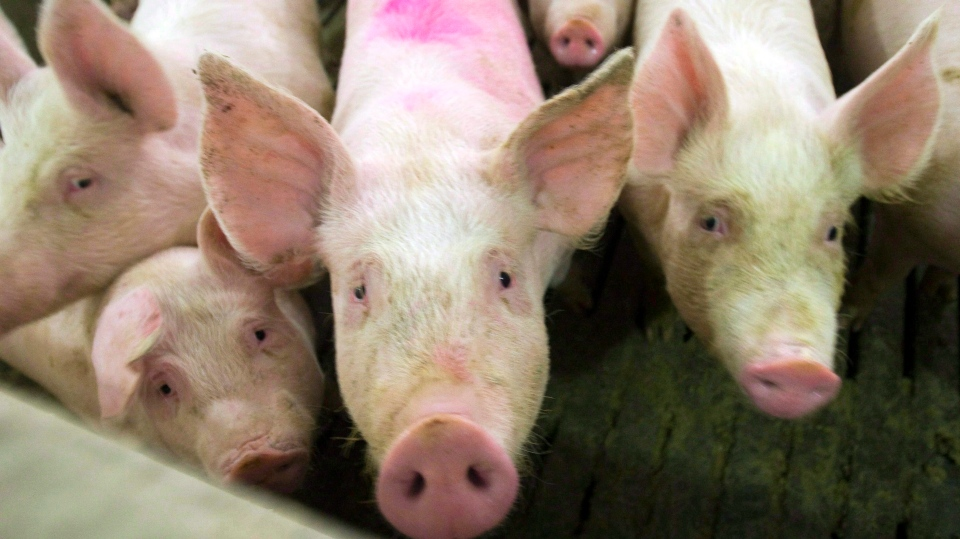 Pigs are seen in this file photo from April, 2009 in Saint-Hugues, Que. Canadian pork exports are expected to increase by more than 10 per cent under the CPTPP trade agreement. (THE CANADIAN PRESS / Ryan Remiorz)