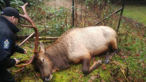 bob the elk