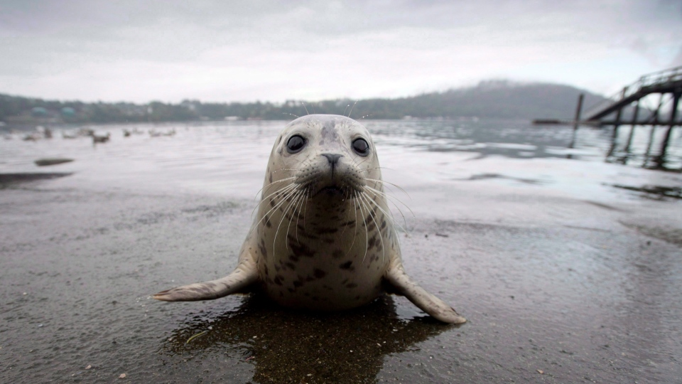 A seal pup sits on the boat launch before heading back into the water after being released by the Vancouver Aquarium into Burrard Inlet in North Vancouver, Wednesday, Sept. 24, 2014.THE CANADIAN PRESS/Jonathan Hayward