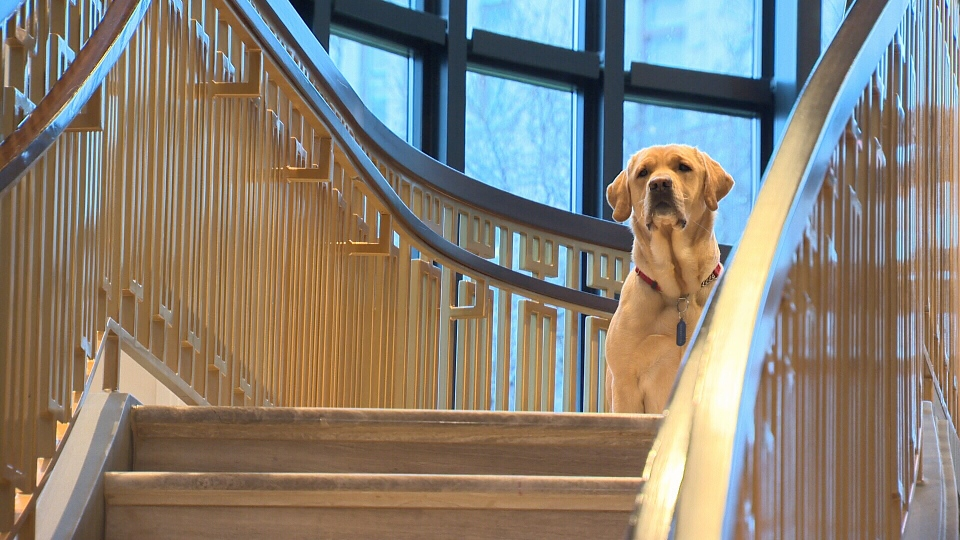 Winston, a two-year-old Labrador retriever cross, will serve as a canine ambassador for guests at the Fairmont Empress on Victoria's Inner Harbour. Jan. 8, 2019. (CTV Vancouver Island)