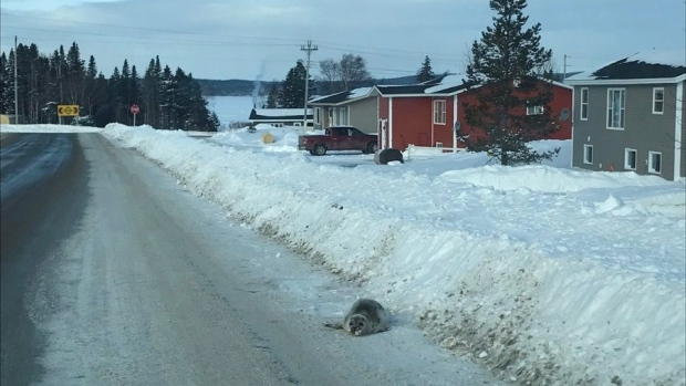 A seal is shown on a road in Roddickton N.L. in a handout