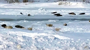 A group of seals in Roddickton, N.L.