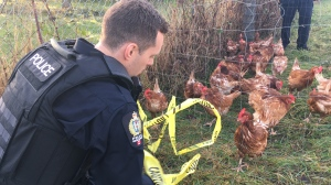 wallace road chickens