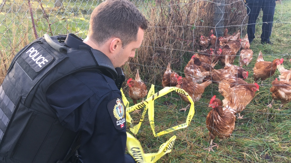 Officers from Central Saanich police coralled about 30 chickens in two areas of Wallace Road after large numbers of the birds were found running wild. Jan. 10, 2019. (CTV Vancouver Island)