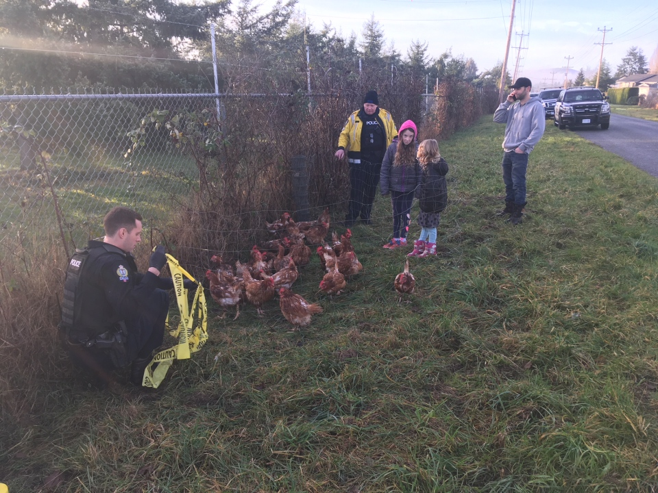 A family also showed up at the first scene on Wallace Road with seven chickens they had captured for police. Jan. 10, 2019. (CTV Vancouver Island)