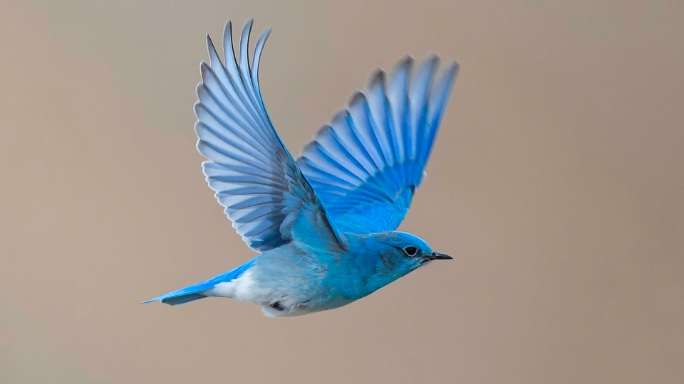Mountain Bluebird. (Courtesy Bob Schultz/Nature Saskatchewan)