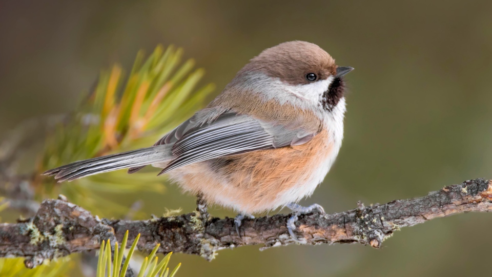 Boreal chickadee. (Courtesy Nick Saunders/Nature Saskatchewan)