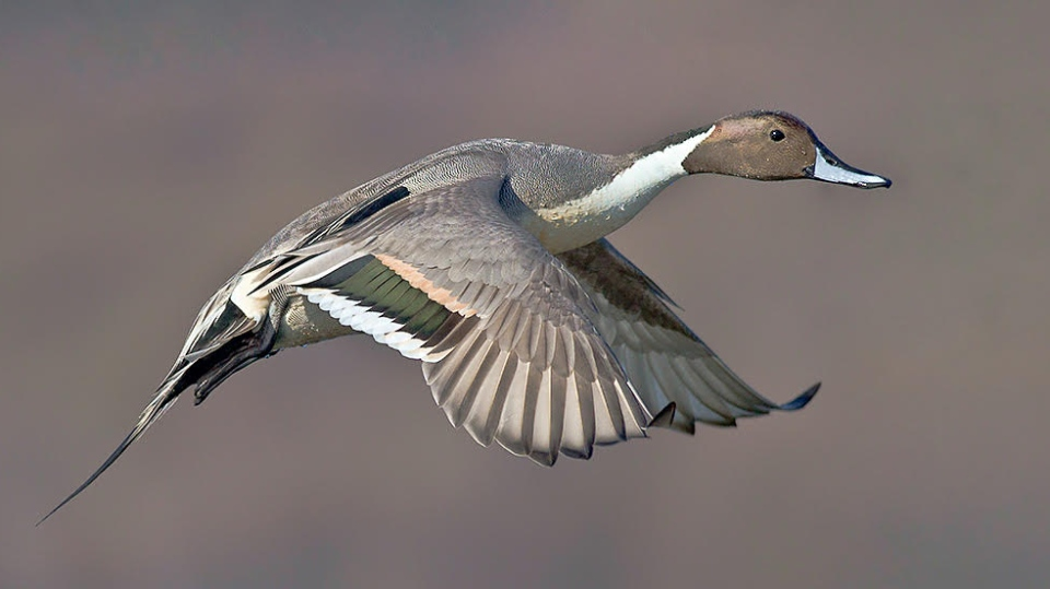 Northern pintail. (Glen A. Fox/Nature Saskatchewan)
