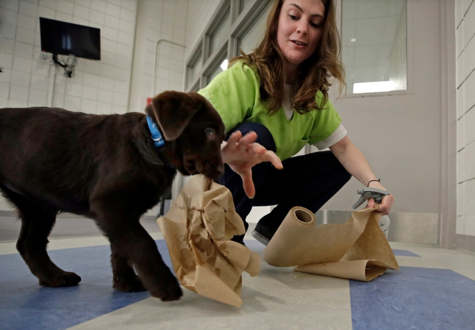 In this Jan. 8, 2019, photo, inmate Caitlin Hyland cleans up after a chocolate lab puppy peed on the floor at Merrimack County Jail in Boscawen, N.H. (AP Photo/Elise Amendola)