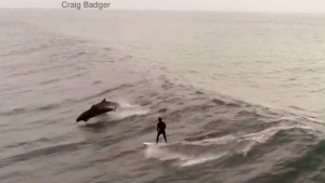 A drone was recording as a man surfing in California was joined by a pod of dolphins.