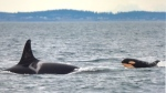 A newborn orca, first spotted swimming with the L pod on Thursday, Jan. 10, 2018, is seen here. (Photo: Dave Ellifrit, CWR Senior photo-identification analyst)