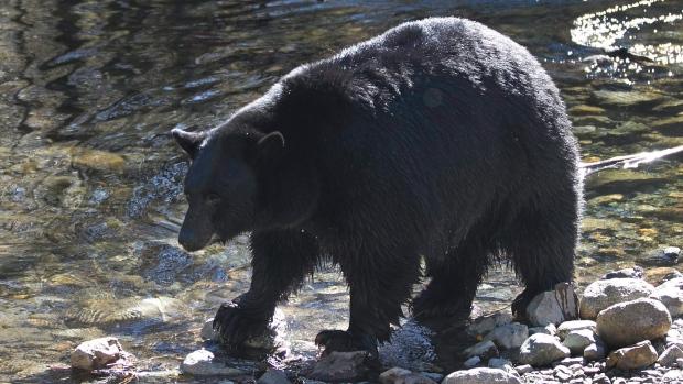 blakc bear