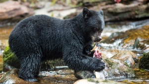 A black bear catches a fish in this undated handout photo. A lone black bear attacked a dog in British Columbia on July 29. (FILE PHOTO/THE CANADIAN PRESS/HO - April Bencze)