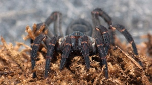 A Trapdoor spider is shown in a handout photo from the Royal Botanical Gardens. THE CANADIAN PRESS/HO-Royal Botanical Gardens-Roderick Mickens MANDATORY CREDIT