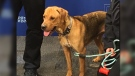 The dogs, one of which is pictured, are receiving treatment and will eventually be placed up for adoption. (Gary Robson/CTV News.)