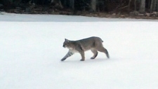 Bobcats spotted in N.S. neighbourhood