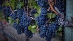 Ripe grapes hang on vines protected from birds with a net at the Okanagan Valley's River Stone Estate Winery in Oliver, B.C., Monday, Sept. 12, 2016. (THE CANADIAN PRESS / Jeff McIntosh)