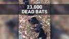 Dead bats