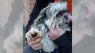 Mac, who was shot in the paw with a BB gun is seen in this image provided by Transit Police.