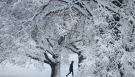 A person walks past snow-covered trees in Loose Park, Sunday, Jan. 13, 2019, in the aftermath of a winter storm that dropped more than 8 inches of snow in the Kansas City, Mo., area. (AP Photo/Charlie Riedel)