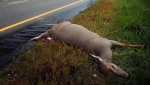 In this Sept. 20, 2004 file photo, a deer that was killed in a collision with a motor vehicle along U.S. Highway 169 near St. Peter, Minn. is pictured. (AP Photo/Free Press, Mankato, John Cross, File)