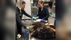 VCA Canada Island Animal Hospital's veterinary technicians Tammy and Katharine treat two poisoned bald eagles. (Facebook)