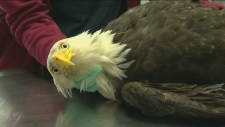 More than a dozen eagles poisoned