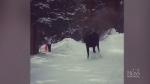 Trending: Skiers meet moose