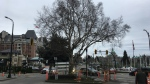 A downtown Victoria tree slated for removal to make way for a 'scramble' crosswalk and bike lanes is shown. Jan. 22, 2019. (CTV Vancouver Island)