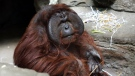 Bajik, a 14-year-old male orangutan, is pictured at the Toledo Zoo Tuesday, Jan. 22, 2019, in Toledo, Ohio. Bajik recently bit a volunteer, causing her thumb to become detached during the encounter. (Dave Zapotosky/The Blade via AP)