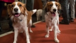 In this Jan. 10, 2018 file photo, Nederlandse kooikerhondje Escher, left, and Rhett are shown during a news conference at the American Kennel Club headquarters in New York.  (AP Photo/Mary Altaffer, File)