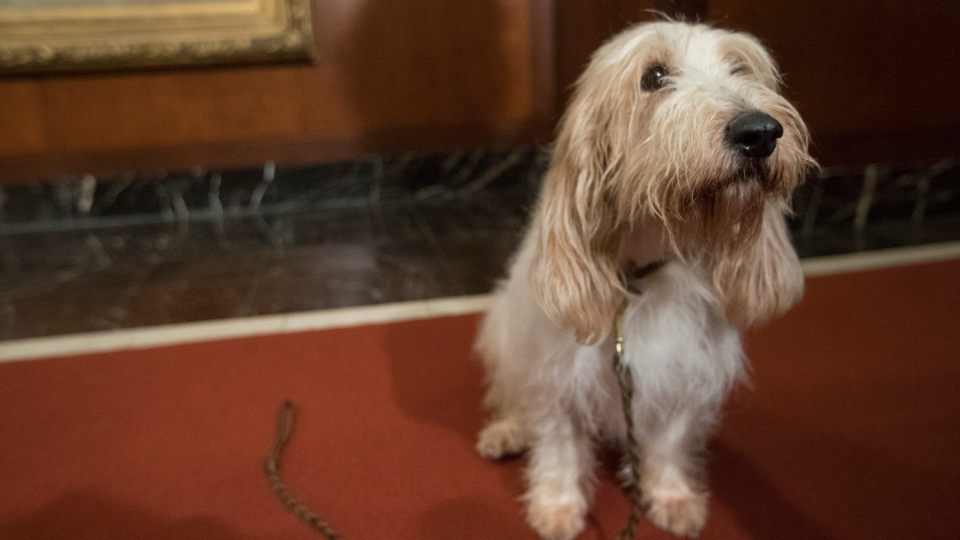 In this Jan. 10, 2018 file photo, Juno, a grand basset griffon Vendeen, is shown during a news conference at the American Kennel Club headquarters in New York.  (AP Photo/Mary Altaffer, File)