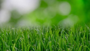 A lawn seen here in this undated stock image. (Skitterphoto / Pexels)