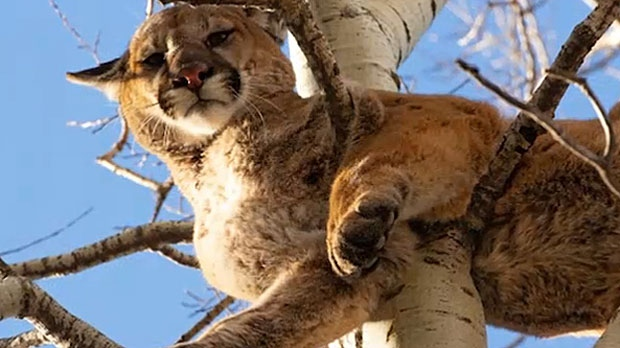 Alberta flock slaughtered by cougar