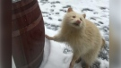 A rare albino raccoon is seen in Seaforth, Ont. on Thursday, Jan. 25, 2019. (Source: Tracy Nash)