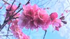 cherry blossoms boom in Victoria
