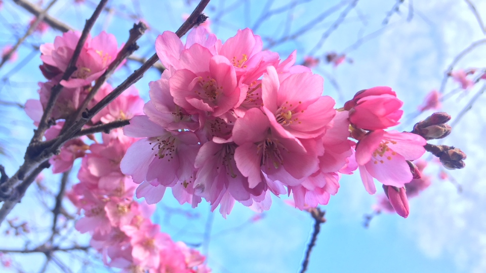Some of Victoria's thousands of cherry blossom trees are blooming slightly early this year, Friday, Jan. 25, 2019. (CTV Vancouver Island)
