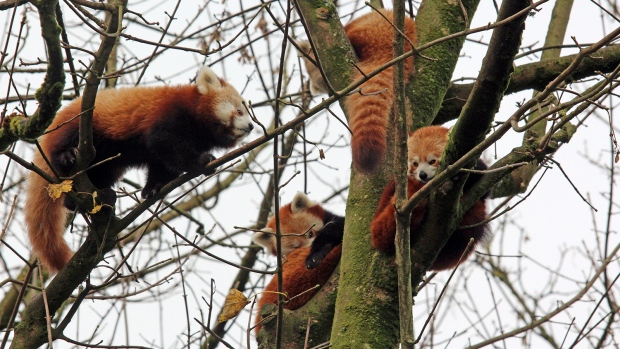 Red Panda missing from Belfast Zoo