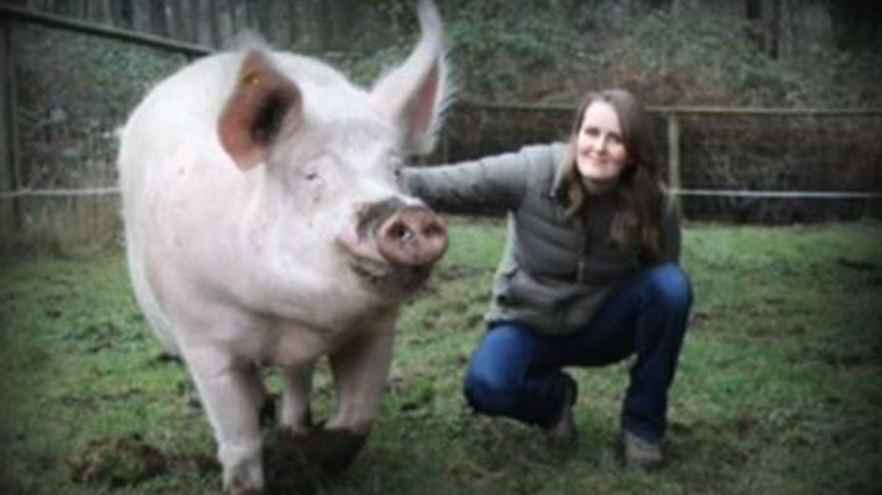 Theo, an 800-pound rescued pig, has found a new love at an animal sanctuary in Duncan.