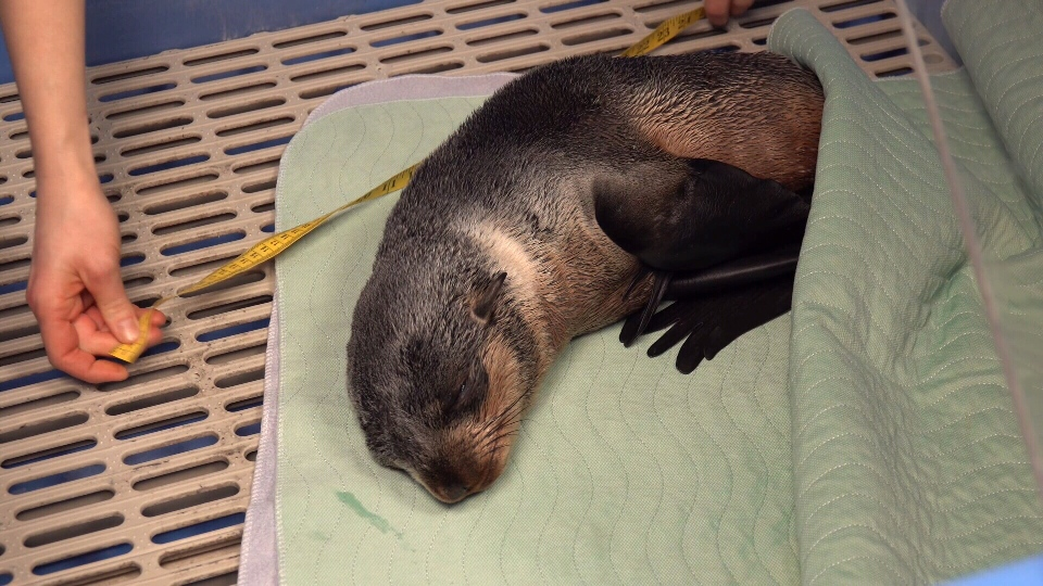 A northern fur seal pup rescued near Campbell River is recovering at a rescue centre in Vancouver, Tuesday, Jan. 29, 2019. (Vancouver Aquarium Marine Mammal Rescue Centre)
