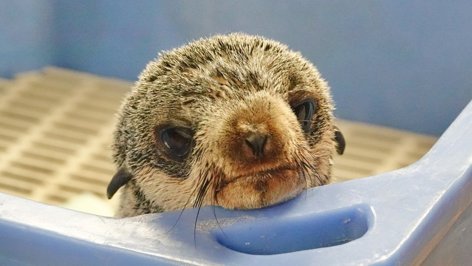 'Mo,' as she's now being called, was rescued by fish farm employees off the coast of Campbell River Monday, Jan. 28, 2019. (Marine Mammal Rescue Centre)