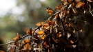In this Jan. 4, 2015, file photo, a kaleidoscope of Monarch butterflies hang from a tree branch, in the Piedra Herrada sanctuary, near Valle de Bravo, Mexico. (AP Photo/Rebecca Blackwell, File)