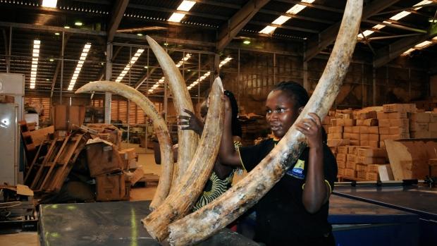 Seized elephant tusks