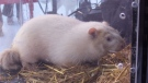 The famous albino groundhog will make his prediction bright and early Saturday morning.
